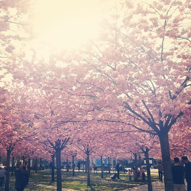 Körsbärsträd gör succé i sociala medier i år igen, dessa fotade i Lumaparken, Hammarby Sjöstad